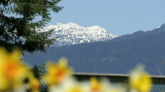 Spring Daffodil Contrast From Snow Capped Mountain Stock Footage