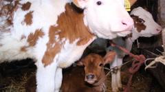 farm calves,calv like roe , cattle farm winter farm  - stock footage