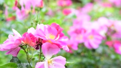 Selective focus pink flower in the garden in the spring season. - stock footage
