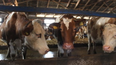 Dairy cows farm Simmental cattle  - stock footage