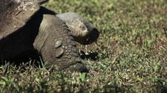 Feeding wild giant tortoise on isla santa cruz in the galapagos Stock Footage