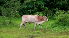 Cows grazing on a field ,Southeast Asia , Thailand Stock Footage