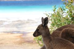 Baby kangaroo Stock Photos