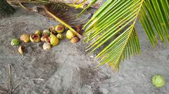Coconuts under a palmtree - stock photo
