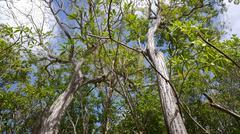 Silk floss tree Stock Photos
