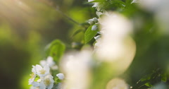 Beautiful jasmine white flowers in summer day folcus pull Stock Footage