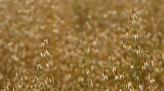 CLose up oats ripening Stock Footage