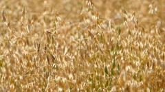 Ripening field of oats Stock Footage