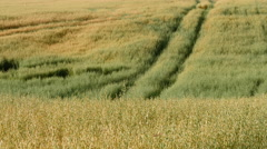 Background loop.  Ripening oats, 4K - stock footage