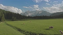 Drone aerial flight over green meadow with grazing cows in Dolomites, Italy Alps Stock Footage