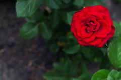 Single big red rose in garden, top view Stock Photos