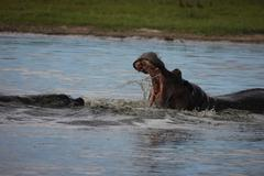 Wild Africa Botswana savannah African Hippo animal mammal Stock Photos