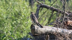 The bird Eurasian sparrowhawk or Northern sparrowhawk  sits on a dry tree trunk Stock Footage