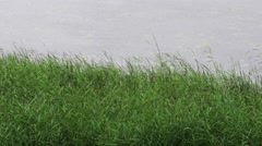 Reed grass sways on the wind in the rain Stock Footage