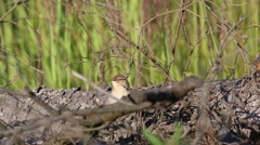 Bird Booted warbler hides in the dry branches of a fallen tree Stock Footage