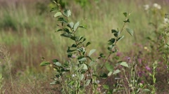 Bird Booted warbler (Hippolais caligata) hides in the green leaves Stock Footage