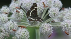 Butterfly Eurasian or White Admiral (Limenitis camilla) - stock footage