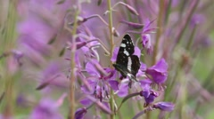 Butterfly White Admiral is on the flower of fireweed or great willowherb Stock Footage