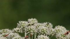 Beetle Pachyta quadrimaculata Stock Footage