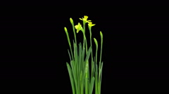Growing, opening and rotating Narcissus in RGB + ALPHA matte format Stock Footage