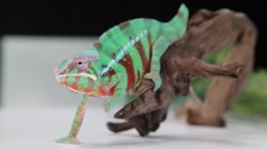 Chameleon lizard closeup Stock Footage