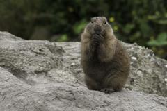prarie dog looking with fear - stock photo