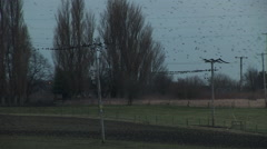 Starling in field flying in large flocks Stock Footage