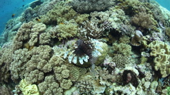 Lionfish Swimming Over Coral Reef Stock Footage