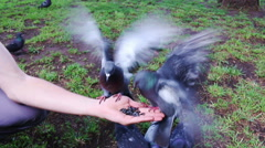 Pigeons, dove eat seeds from a hand. Summer park. Pov Stock Footage