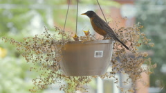 Baby robins fed in hanging basket Stock Footage