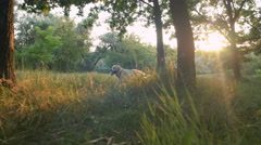 Young woman walking with retriever dog in park during sunset - stock footage
