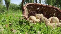 Organic potato, potatoes in basket - stock footage