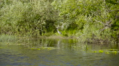 A grey heron bird on the trees in the river Stock Footage