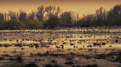 Geese and pond at dawn, Finley Wildlife Preserve, Oregon Stock Footage