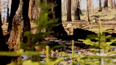 Deer in the Sequoias Stock Footage