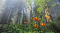 Redwood trees and flowers, Redwood NP, CA Stock Footage