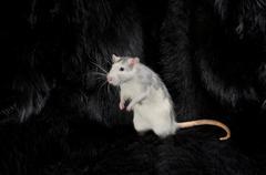 Rat on a black fur. Stock Photos