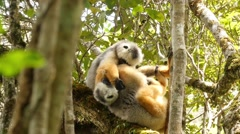 Diademed sifakas in rainforest of Madagascar grabbing at each other Stock Footage