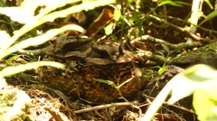 Two Madagascan nightjars camouflaged on ground, close-up Stock Footage