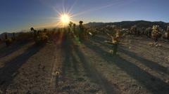 Cholla Cactus Garden, Joshua tree NP, CA Stock Footage