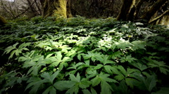 Ground cover in forest, Oregon Stock Footage