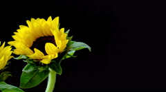 Several bright yellow sunflowers on a black background close up Stock Footage