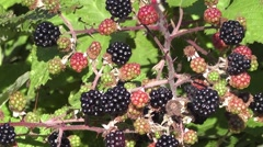 Picking Blackberries Zoom Out Stock Footage