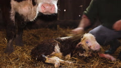 Farmer clean just born calf  with his mother cow ,Cattle Hereford farm  Stock Footage