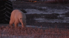 Close on polar bear walking on gravel road away from buggy in evening light Stock Footage