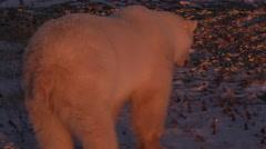 Orange evening light on female polar bear urinating in snow on tundra Stock Footage