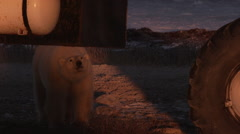 Orange light from setting sun on polar bear sniffing underside of tundra buggy Stock Footage