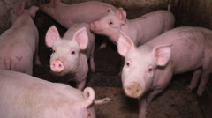 Pig farm in Vojvodina,Sebia Stock Footage