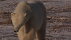 Close on polar bear walking towards camera over tundra in afternoon light Stock Footage