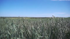 Boundless oat field foreground with a slight tilt-shift effect. - stock footage